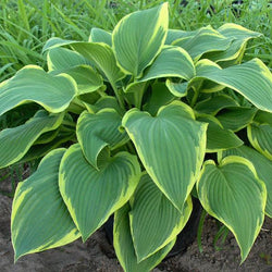 'Yellow River' Hosta