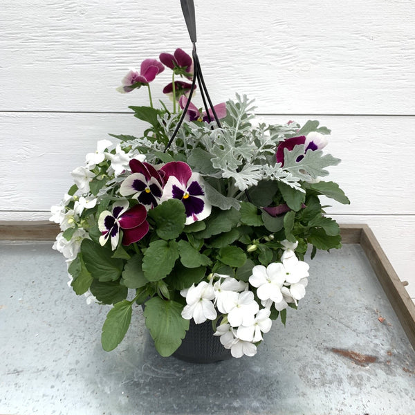 Mixed - Dusty Miller, Impatiens & Pansy