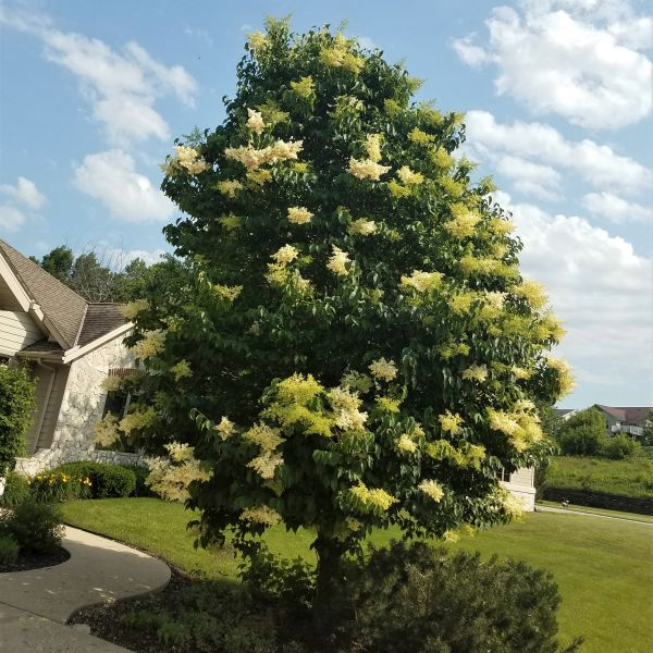 Japanese Tree lilac 'Ivory Silk'