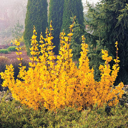 'Kolgold' ' Magical Gold' Forsythia