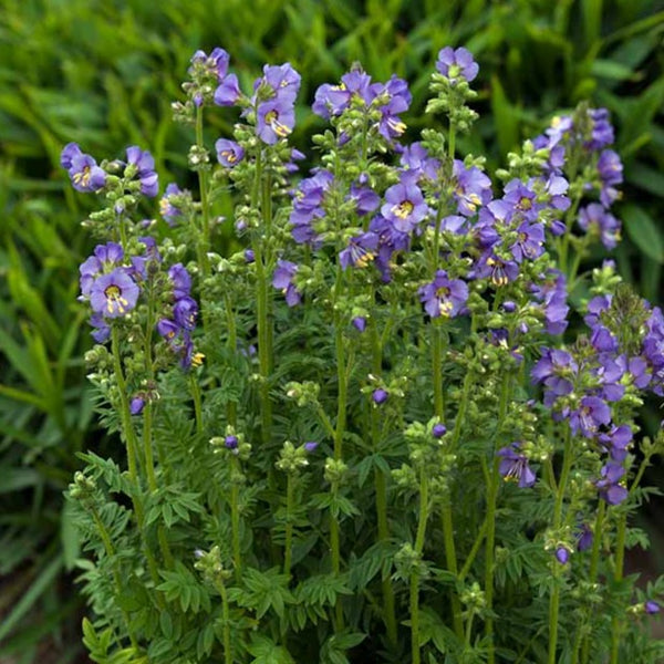 Polemonium - Jacobs Ladder
