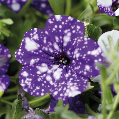 Nightsky Series Petunias