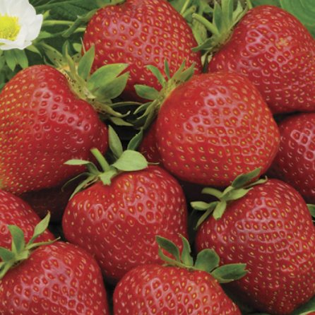 Eversweet Strawberry (Everbearing Daynatural)