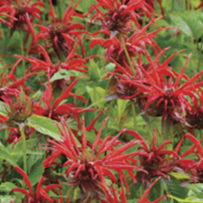 Jacob Cline Monarda (Bee Balm)