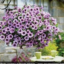 Supertunia Hanging Baskets - Proven Winners