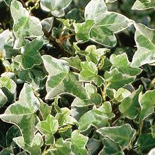 Hedera - English Ivy