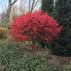 'Compactus' Burning Bush