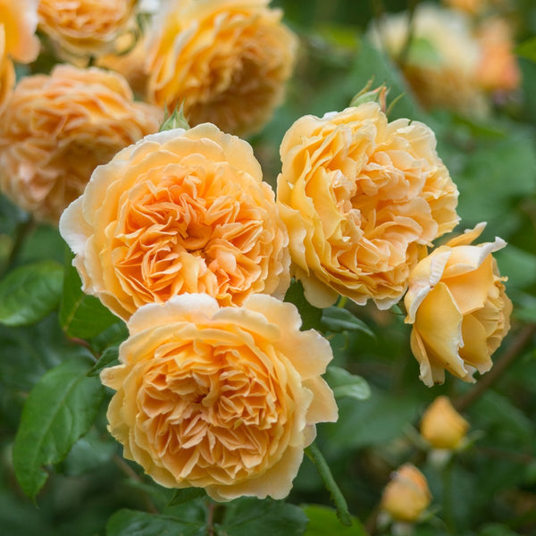 Crown Princess Margareta Rose - David Austin