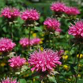Marshalls Delight Monarda (Bee Balm)