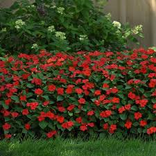 'Beacon' Impatiens