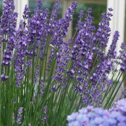 'Big Time Blue' Lavender