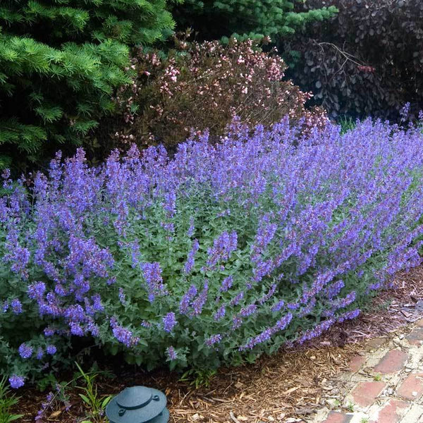 Nepeta - Blue Catmint  'Walker's Low'