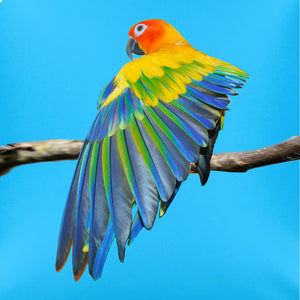 Poppy, the model for the Sun Conure hand-painted batik throw pillow
