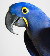 Ringo - the model for our Hyacinth macaw parrot clutch purse/wallet