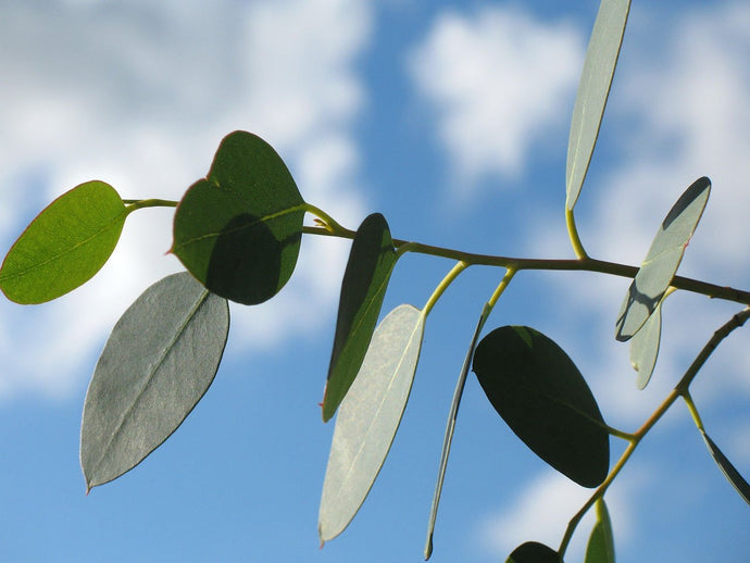 The Benefits Of Using Eucalyptus Are Never Ending!
