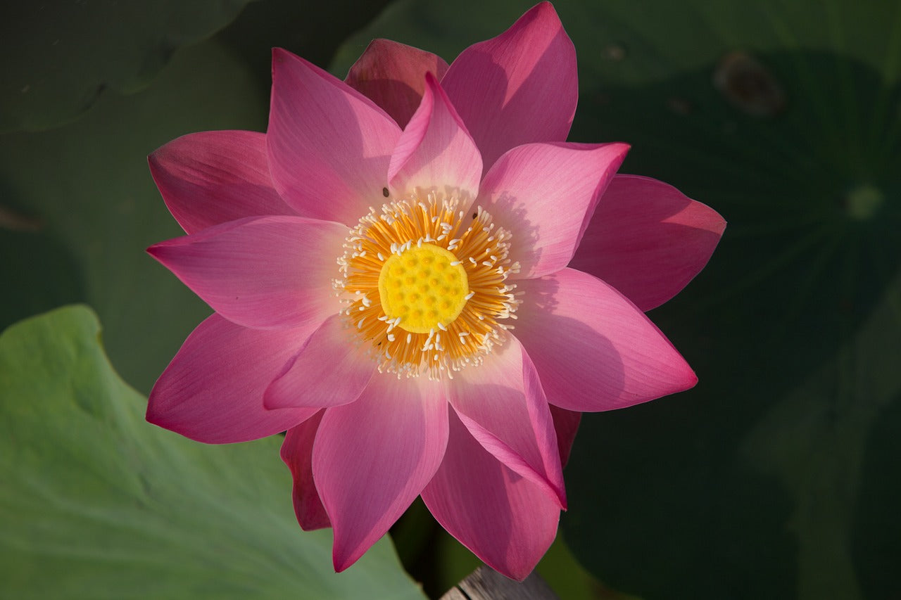 Blog 7 chakra store the meaning and symbolism of lotus flower izmirmasajfo