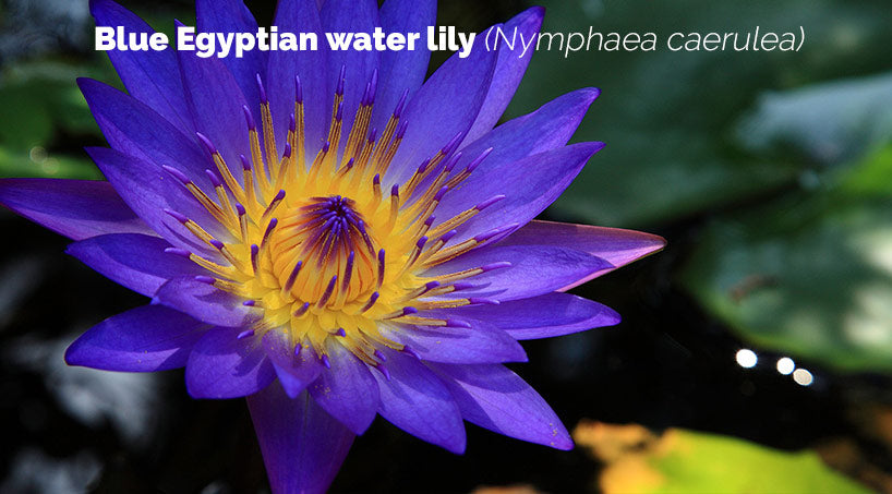 Blue Egyptian water lily Nymphaea caerulea