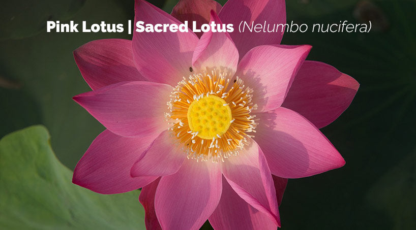 Lotus Flower Meaning And Symbolism 7 Chakra Store