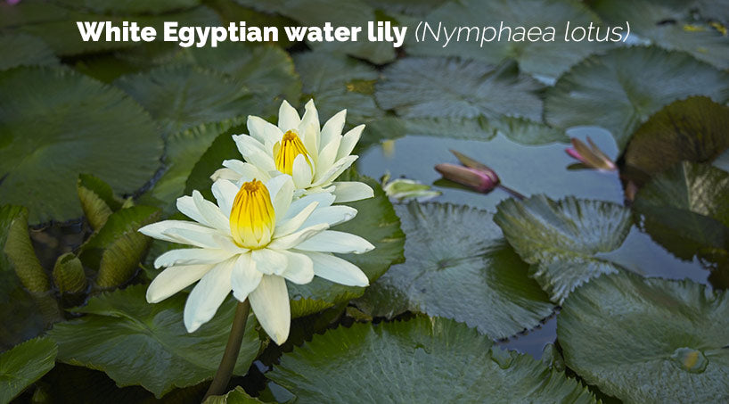 White Egyptian water lily Nymphaea lotus