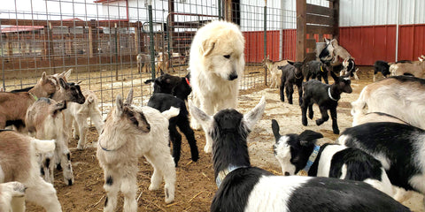 Great Pyrenees Livestock Guardian Dog With Baby Alpine Dairy Goats