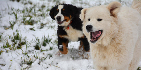 Bernese Mountain Dog and Great Pyrenees Puppies