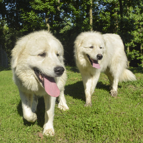 Cagney and Lacey, Great Pyrenees at Goat Milk Stuff