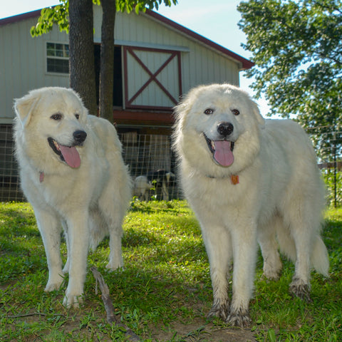 Cagney and Lacey Great Pyrenees Dogs