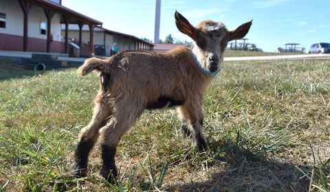 Sheila the baby goat