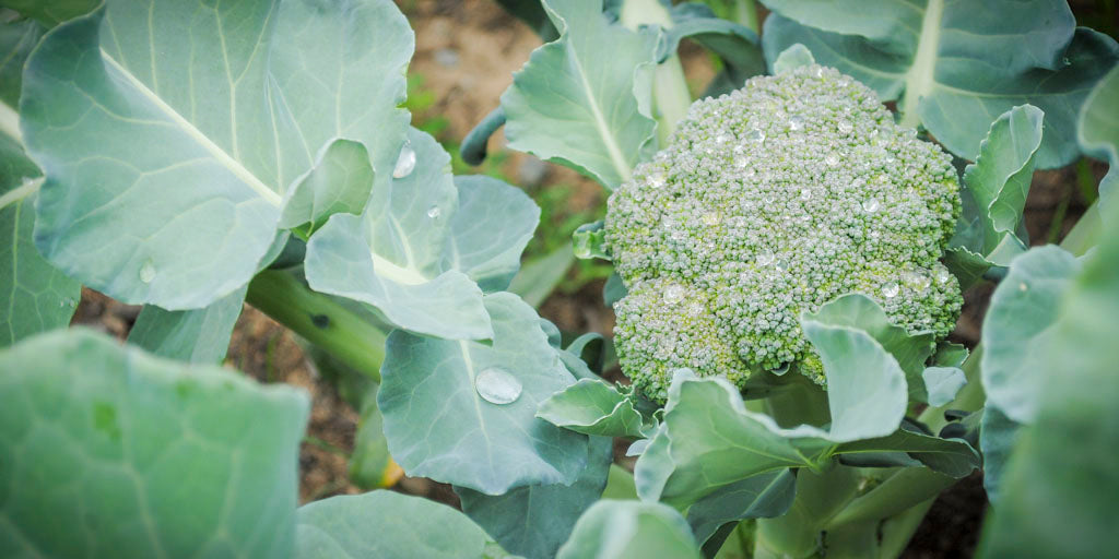 harvesting broccoli from the garden