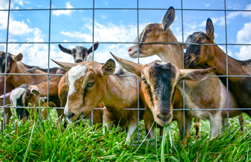 Dairy Goats in Indiana