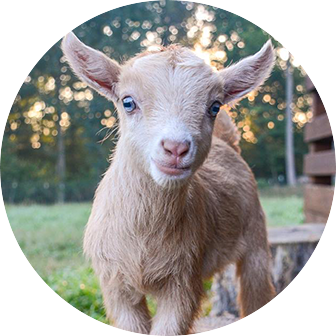 goat milk for natural goat milk soap