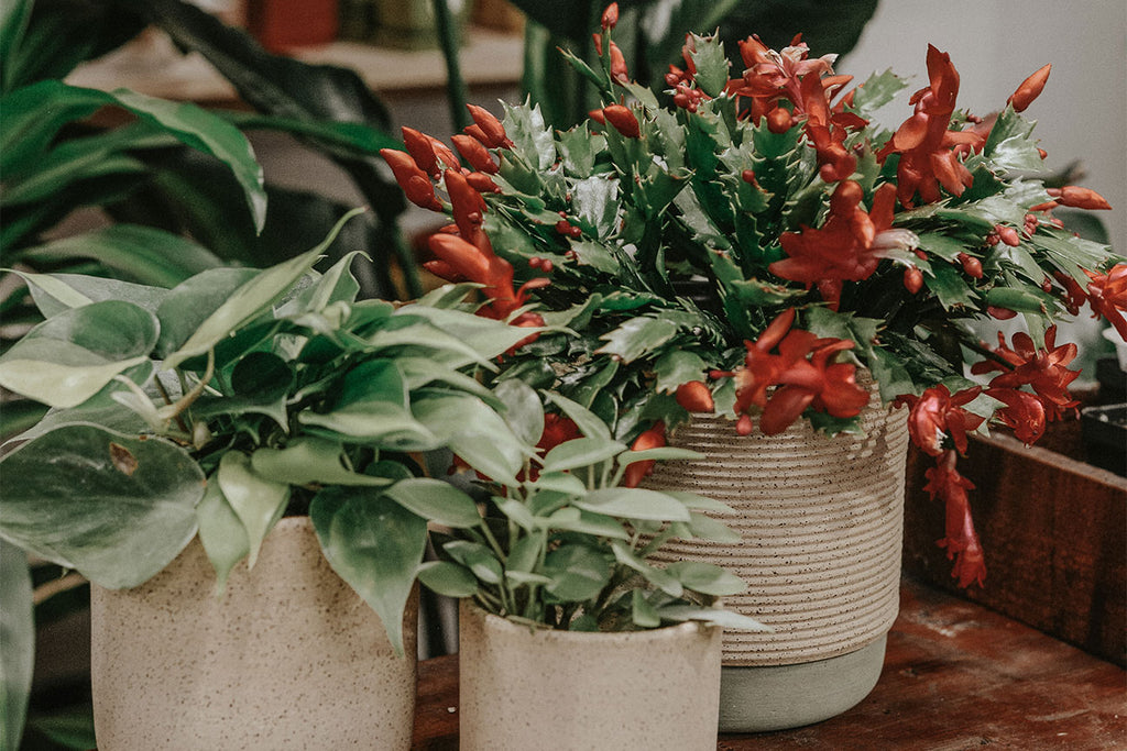 How To Gift (And Grow) a Christmas Cacti