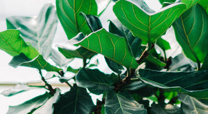 Focus On The Fiddle-Leaf: Care to Keep it Awesome