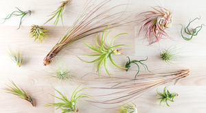 Airplants – Houseplants Without Rules