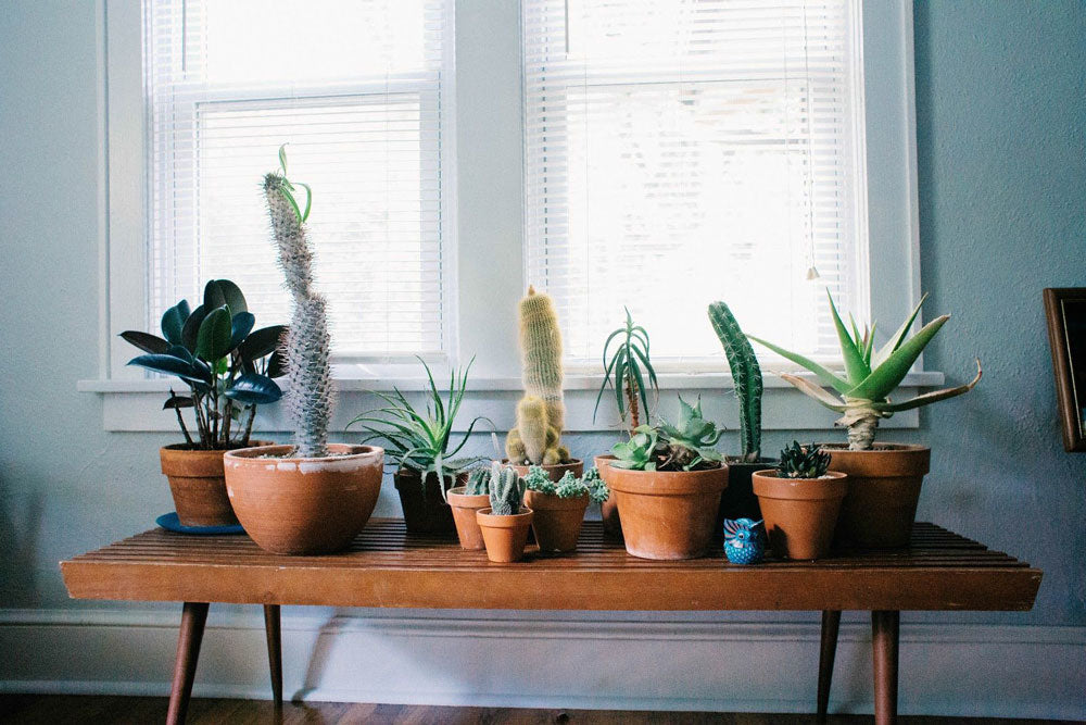 Cacti in pots on bench inside house
