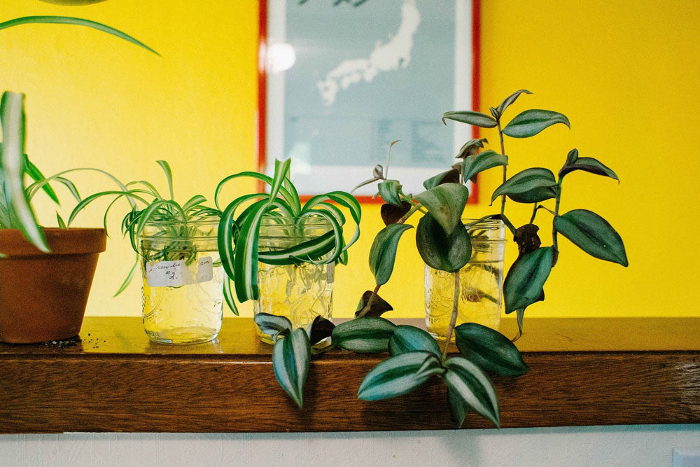 Propagated plants growing in glass jars