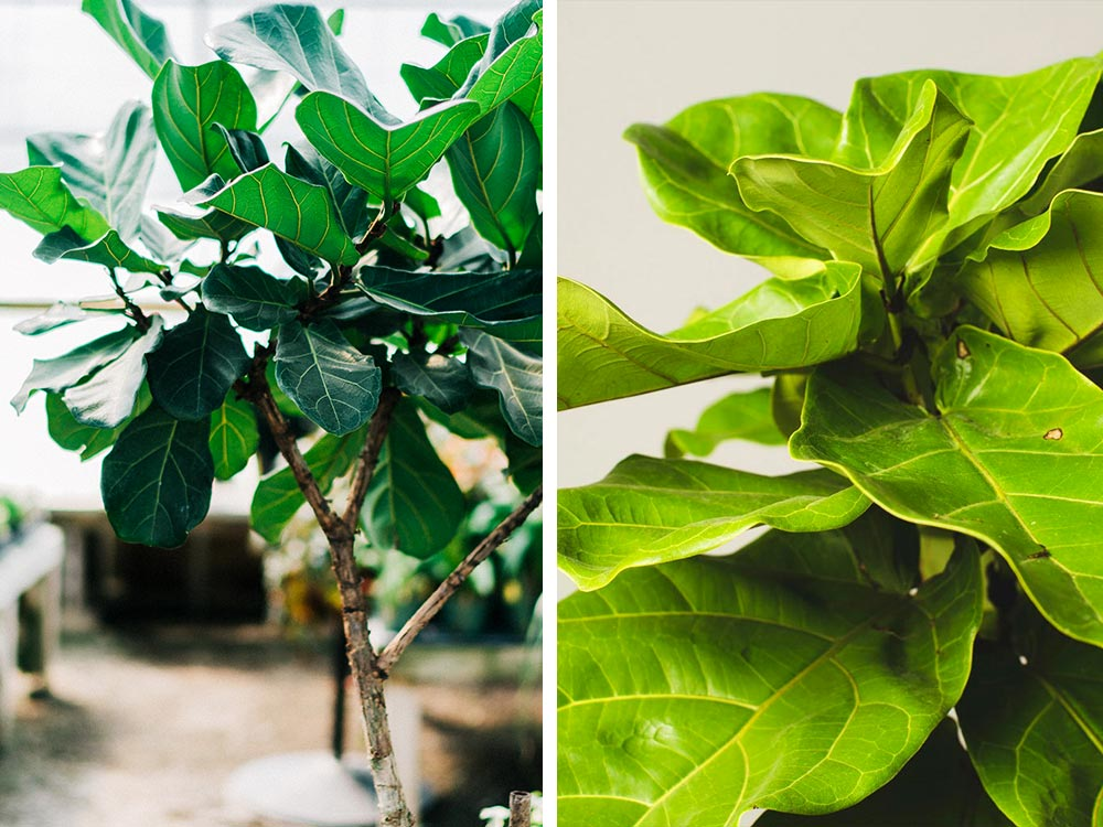 Fiddle Leaf Fig Houseplant