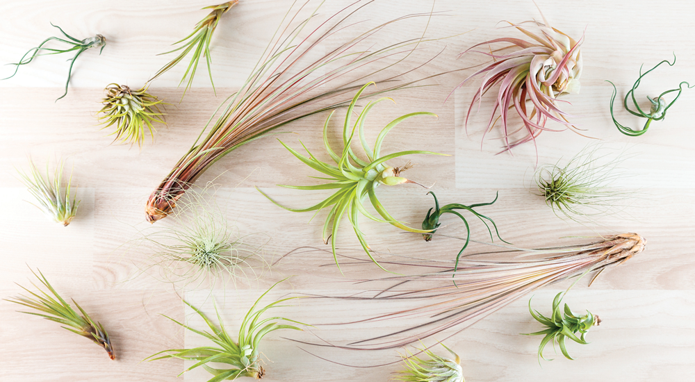 How to Care for Airplants (Tillandsia) – Art Terrarium
