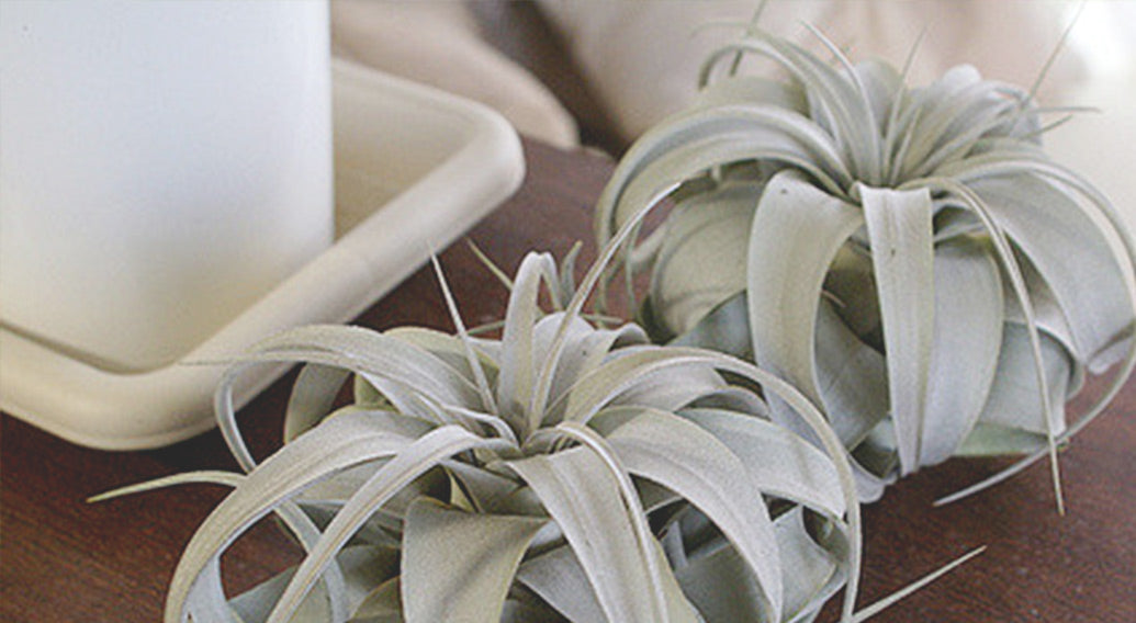 Xerographica on a table by a candle