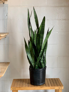 Sansevieria - Black Coral (Low Light)