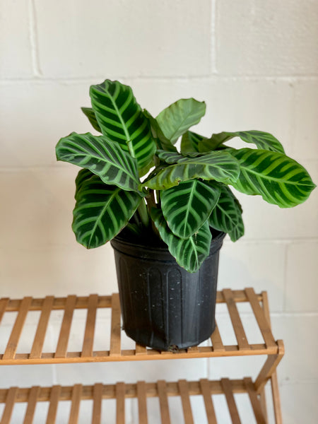 Calathea Zebrina (Pet Friendly)