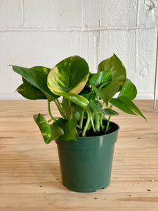 Golden Pothos (Low Light)