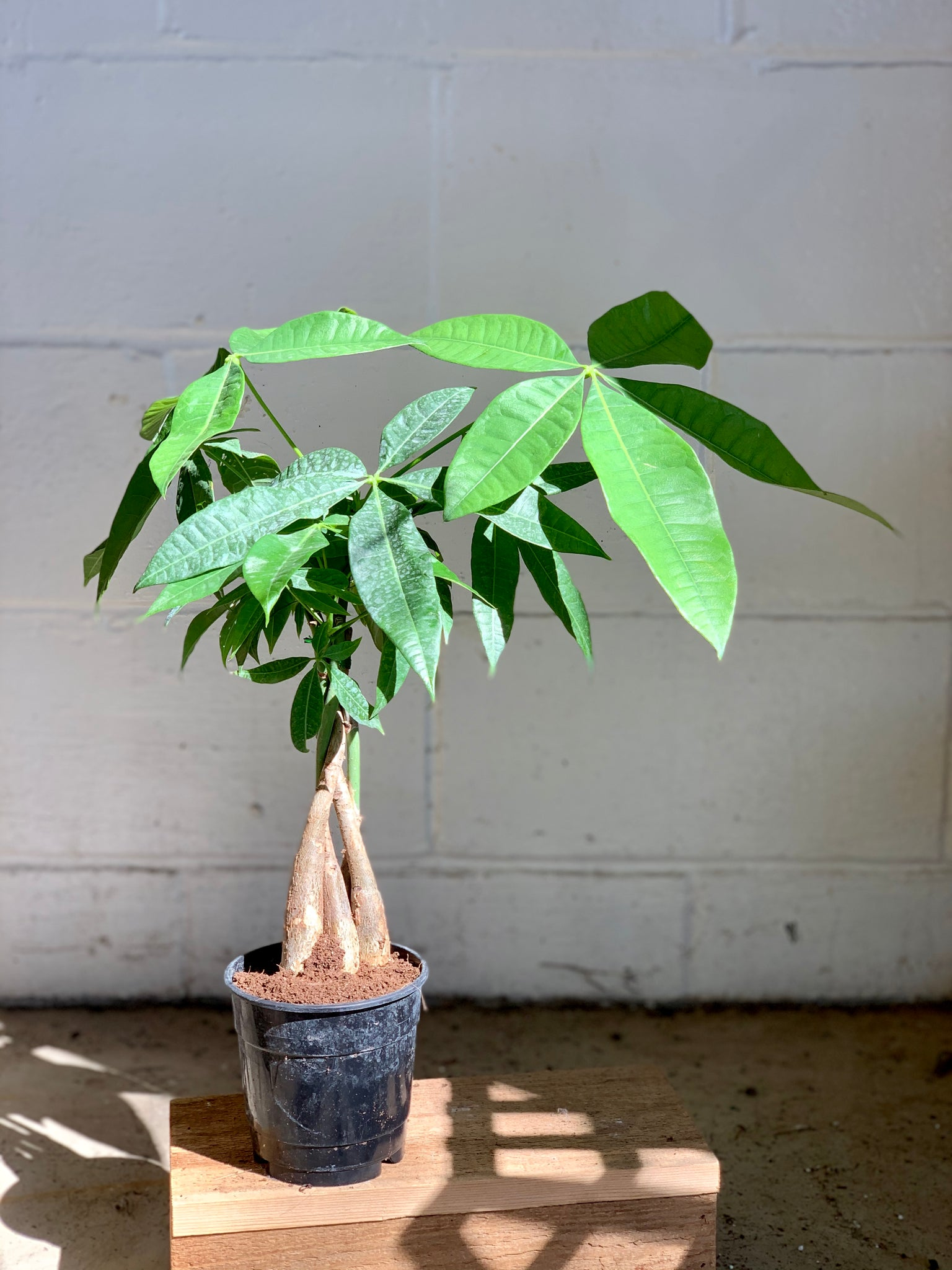 Money Tree (Pet Friendly)