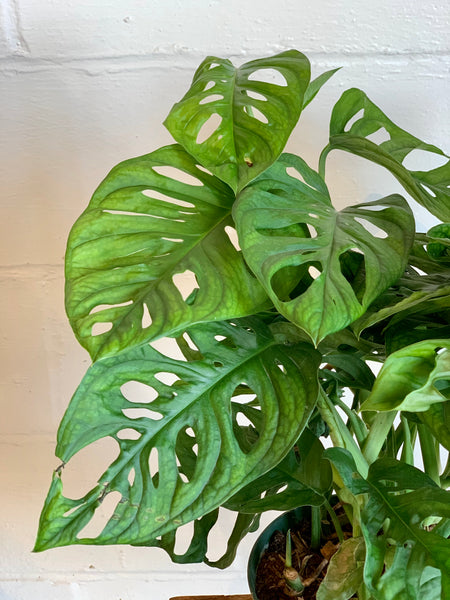 Monstera Adansonii (Low Light)