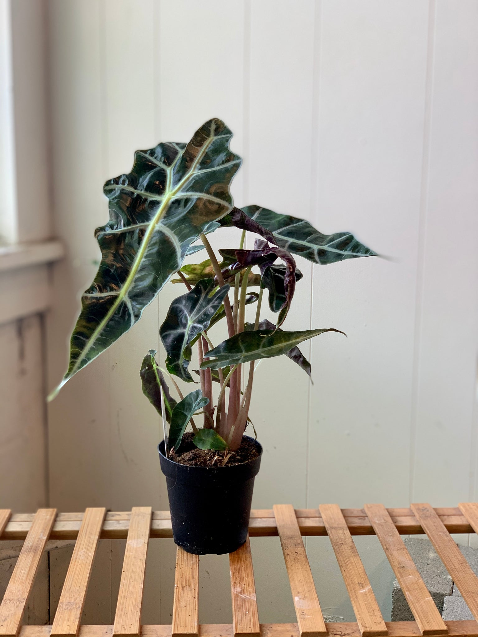 Alocasia - African Mask