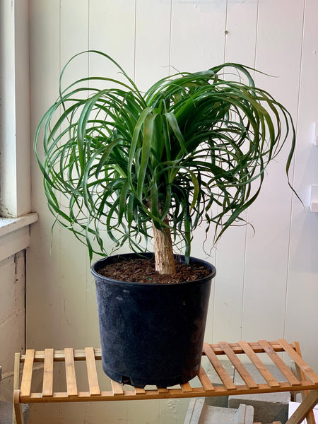 Ponytail Palm (Pet Friendly)