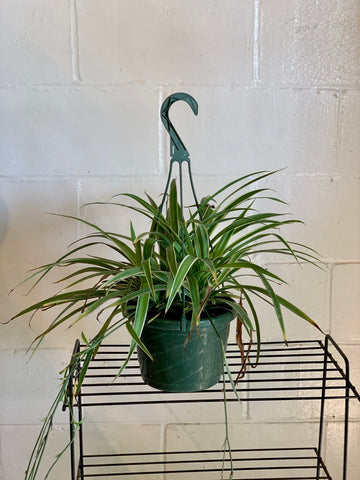 Spider Plant (Pet Friendly)