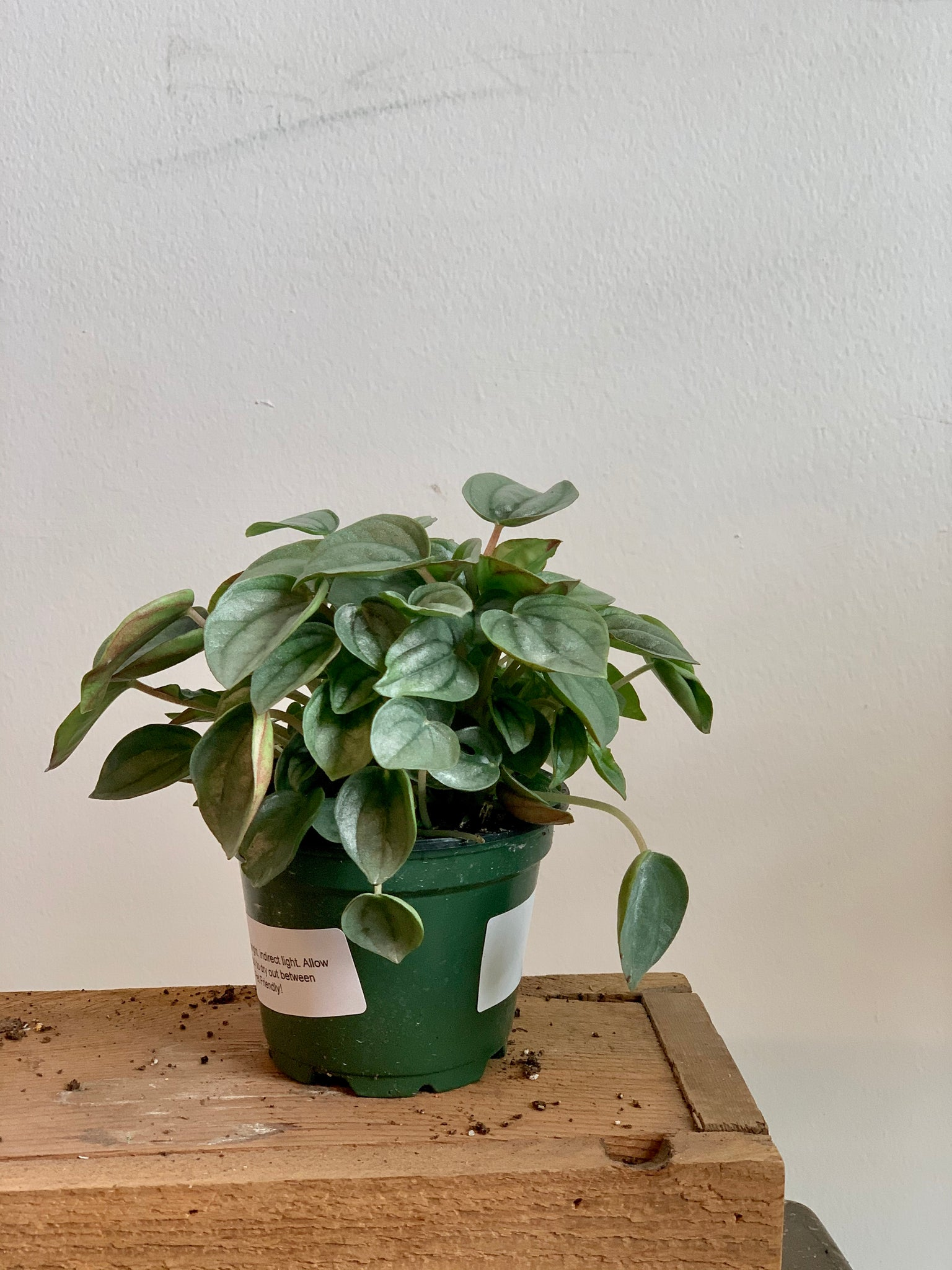 Peperomia - Frost