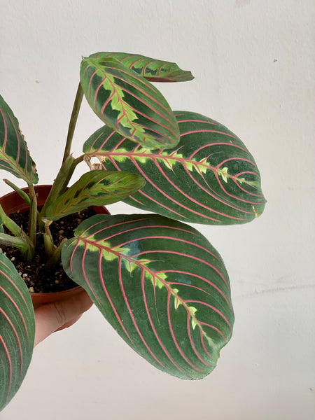 Maranta - Prayer Plant