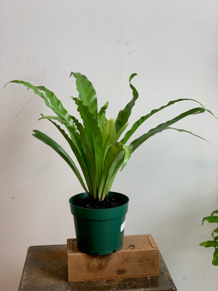 Birdsnest Fern (Pet Friendly)
